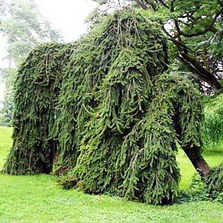 Ель инверса в садовом дизайне