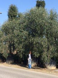 Олива европейская 1