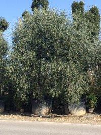Олива европейская 2
