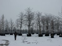 Зимняя посадка крупномеров 2