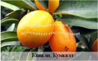 Апельсин «Кинкан» (Кумкват)