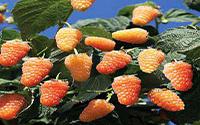 Малина «Оранжевое чудо»
