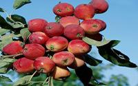 Яблоня «Вагнера призовое»