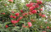 Яблоня «Джонатан»