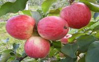 Яблоня «Мелба»