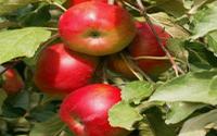 Яблоня «Останкино»