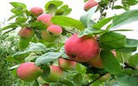 Яблоня «Слава победителю»