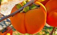 Хурма «Бычье сердце», «помидорная», «хачия»