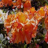 Калина крупноцветковая листопадная