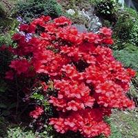 Азалия Японская «Фоеника»